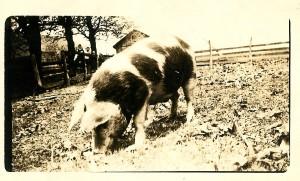 Farabaugh Pig 20 May 1917